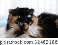 cat, pussy, animal 32462186