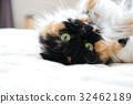 cat, pussy, domestic cat 32462189