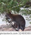 Kangaroo with baby , Australia 32469360