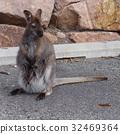 Kangaroo with baby , Australia 32469364