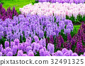Colorful hyacinth flowers blossom in spring garden 32491325