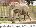 african, elephant, loxodonta 32500071