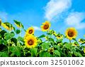 해바라기, 밭, 꽃밭 32501062