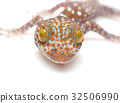 close up Tokay Gecko, Gekko gecko 32506990