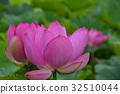 고대 연꽃 32510044