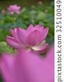 고대 연꽃 32510049