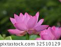 고대 연꽃 32510129