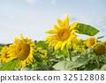 ทานตะวัน,ทุ่งดอกไม้,ฤดูร้อน 32512808