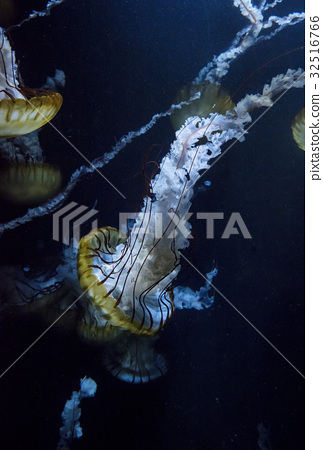 水母三文魚八仙花屬太平洋海網le 32516766