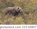 Grizzly Bear in Fall 32516807