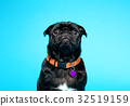 Black pug on a blue background 32519159