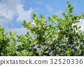 種植園 農場 藍莓 32520336