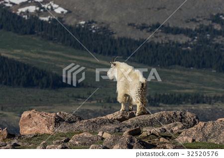 Mountain Goat 32520576