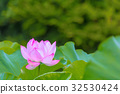 lotus, bloom, blossom 32530424