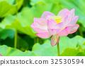 lotus, bloom, blossom 32530594
