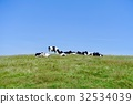 cow, cattle, cows 32534039