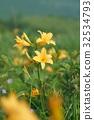 nozori湖 金針花 花朵 32534793