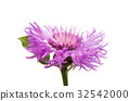 Lilac flower isolated 32542000