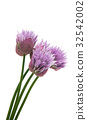 Lilac flower isolated 32542002