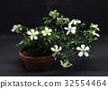 ดอกไม้,บอนไซ,กุหลาบ 32554464