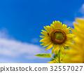 ดอกทานตะวัน 32557027