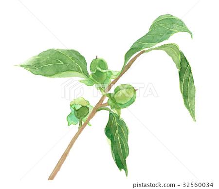 감, 잎 달림, 과일 32560034