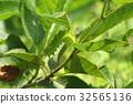 생물 곤충 오나가미즈아오 여름의 강한 햇빛에 나뭇잎과 동화 애벌레 32565136