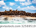 Wild sea lions on the island 32569519