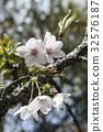 吉野櫻 32576187