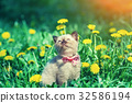 little kitten wearing bow tie in the flowers lawn 32586194