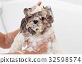 Bath of a dog Shih Tzu 32598574