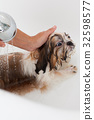 Bath of a dog Shih Tzu 32598577