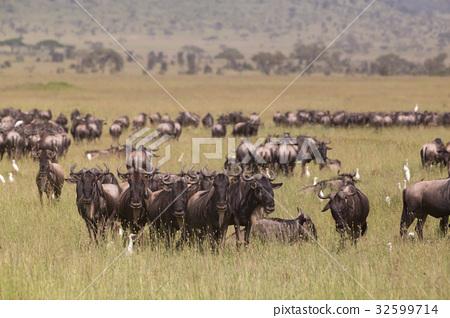 Wildebeests grazing in Serengeti National Park in 32599714