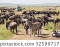 Wildebeests and Zebras grazing in Serengeti 32599717