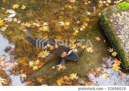 Koi fish in pond with maple tree 32606028
