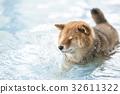หมาชิบะ,สุนัข,สุนัช 32611322