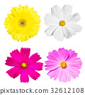 Cosmos and Gerbera flower isolated white backgroun 32612108