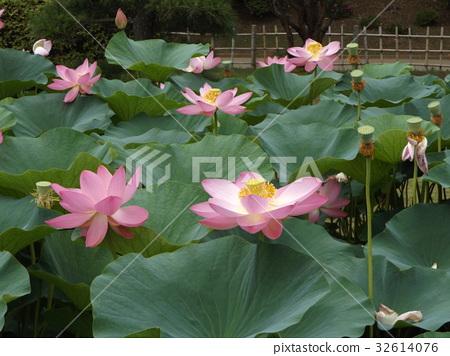 莲花 花朵 花卉 32614076