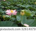 lotus, bloom, blossom 32614079