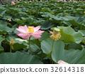 lotus, bloom, blossom 32614318