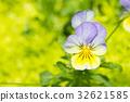 viola flower in garden. 32621585