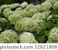 ไฮเดรนเยียแอนนาเบลเรียกดอกไม้สีขาวของไฮเดรนเยีย 32621806