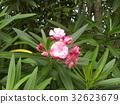 Nerium oleander, pink, bloom 32623679