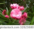 Nerium oleander, pink, bloom 32623680
