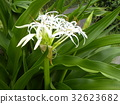 crinum, bloom, blossom 32623682