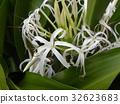 文殊 花朵 花 32623683