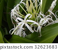 crinum, bloom, blossom 32623683
