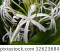 crinum, bloom, blossom 32623684