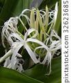 文殊 花朵 花 32623685