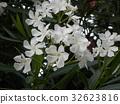 Nerium oleander, white, bloom 32623816